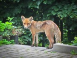 Fantastic Mr. Residential Fox